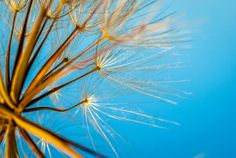 Dandelion seconds before spreading its seeds... by Meir Jacob on 500px #photography #nature #macro #dandelion