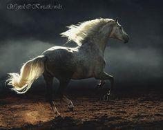 Andalusian stallion Yeguada Miguel A. De Cárdenas, Ecija, Spain