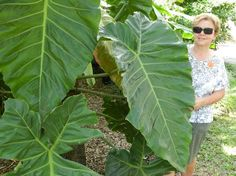 Large leaves, no? - Picture of Fairchild Tropical Botanic Garden ...