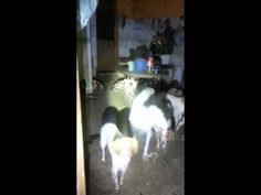 9 de julio de 2015 Refugio de Candela, Spain, an animal hoarder has died and left more than 40 dogs.