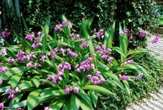 Chinese Ground Orchid (Bletilla striata) Need part sun Possible replacement for monkey grass in front bed?