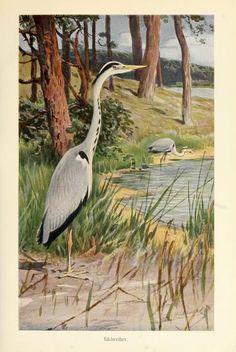 Heron - from Brehms Tierleben (Brehm's Animal Life) - 1911.