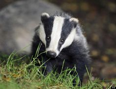 "The Badger Trust says that killing badgers will make no meaningful contribution to tackling TB, which has been described as the most pressing animal health problem in the UK. (click on the photo for the full story)  Brian May:  ""What you've heard is that the judicial review failed. It isn't totally unexpected. What you've got to remember is that judges do not review the scientific evidence, they do not review the ethical considerations. All they do is look at the technicalities."""