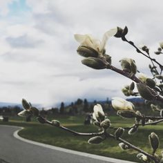 Magnolia blooms along the cart path. @harvestgolfclub is the perfect venue to watch spring bloom with all its fruit trees shaping the greenway. by the_field_guide