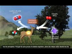 Cellular Respiration: Glycolysis, Krebs cycle, Electron Transport [3D Animation] - YouTube