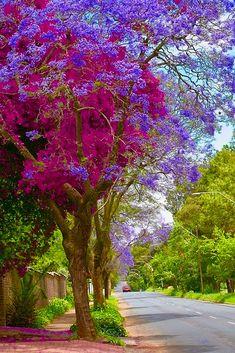 Jacaranda tree enfolded by bougainvillea - how beautiful is that? Beautiful World, Beautiful Gardens, Beautiful Flowers, Beautiful Places, Beautiful Pictures, Beautiful Gorgeous, Simply Beautiful, Diy Garden, Plantation