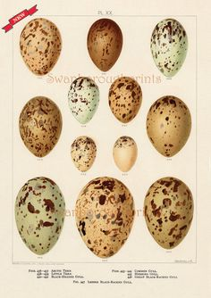 Bird Eggs Print Ocean Sea Gulls Bird Eggs by swanboroughprints