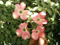 Flowering Dogwood --- want to add one of these trees to my yard.