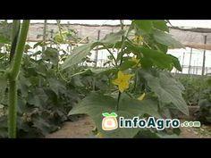 Cultivo del pepino. 2ª parte - YouTube