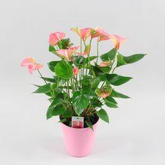 Anthurium andr. Lady Love Ø17cm in pink pot