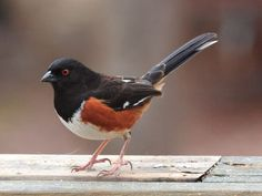 "Eastern Towhee - Song is ""Drink your tea"""