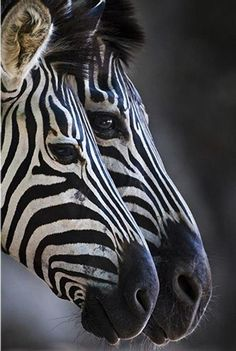 Zebras..did you know that no two Zebras have the same stripe pattern?  Kind of like the human fingerprint.  Pretty awesome.