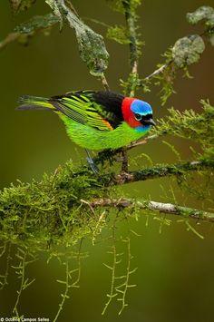 Tangara de cuello rojo, se encuentra en el este y sur de Brasil, Paraguay y norte de Argentina.