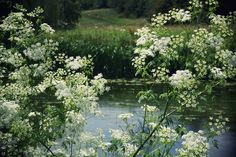 071514 queen anne's lace ~ Queen Anne's Lace, one of my favorite flowers