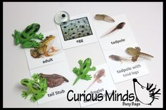 This Montessori learning activity focuses on the different stages of the frog life cycle / metamorphosis by matching miniature animal figurines to their matchin