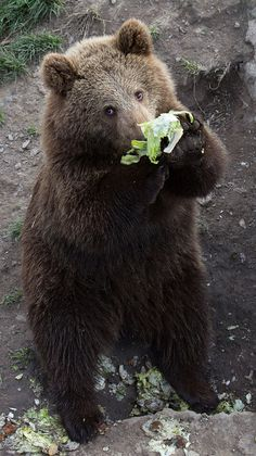 Even bears must eat their green salad by nemi1968, via Flickr