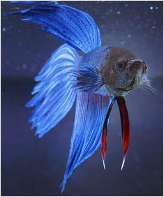 Siamese Fighting Fish.  Stunning!!!...