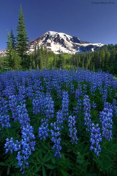 Mount Rainier up against a dark blue backdrop with iridescent blue lupine flowers. Rainier National Park is only a hour drive from Seattle - and is the prettiest places on earth! Beautiful World, Beautiful Places, Beautiful Pictures, All Nature, Amazing Nature, Mount Rainier National Park, Photo Images, Belle Photo, Beautiful Landscapes