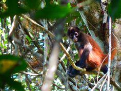 Corcovado nationalpark Costa Rica  Monkey