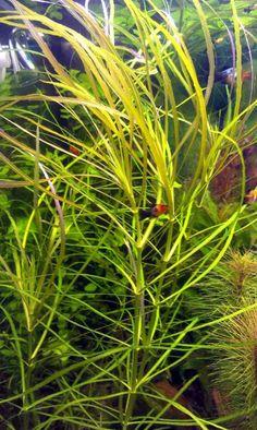 Asiatischer Wasserstern, RARITÄT, Aquarienpflanzen (Versand) - http://www.tier-kleinanzeigen.com/ads/asiatischer-wasserstern-raritaet-aquarienpflanzen-versand/