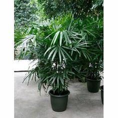 Rhapis excelsa 190cm - Plantes et Jardins