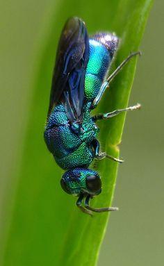 Cuckoo Wasp.  Photo © Flickr User: snoopydoobiedog~.