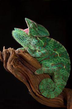 Chameleon calyptratus