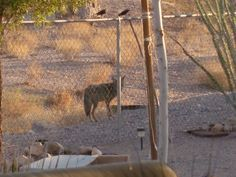 Coyote looking for food and water