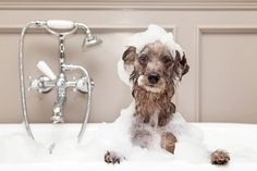 Winter dog baths are no fun--but it's important to keep your dog clean during cold weather. 7 tips for how to make the job easier on you AND your dog. Diy Dog Shampoo, Best Dog Shampoo, Baby Shampoo, Dog Grooming Styles, Pet Grooming, Grooming Salon, Terrier Breeds, Dog Breeds, Pet Spa