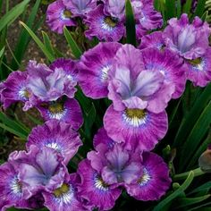 Related Content      •Gallery: Best Garden Flowers for Color All Summer  •Gallery: Front Yard Plantings to Make an Entrance        More in Landscaping Outdoor Structures  Garden Planning: -Siberian Iris   Grows 20 to 28 inches tall and 18 to 24 inches wide in USDA Hardiness Zones 3 to 9; full sun to part shade.