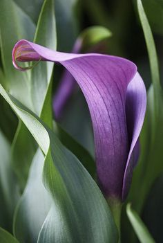 Calla Lily In Purple. I didn't know Calla Lillies came in purple! Lis Calla Violet, Purple Calla Lilies, Calla Lily Flowers, Exotic Flowers, Amazing Flowers, My Flower, Purple Flowers, Beautiful Flowers, Lilly Flower
