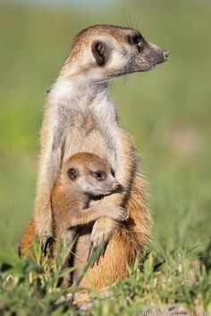 A Meerkat pup gets a morning cuddle in the Makgadikgadi Pans Botswana. All Gods Creatures, Cute Creatures, Beautiful Creatures, Animals Beautiful, Animal 2, Mundo Animal, Cute Baby Animals, Animals And Pets, Strange Animals