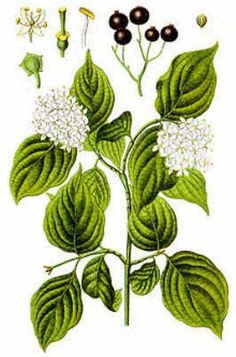 Herbal Medicinal Plants - Dogwood