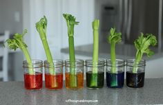 Science Experiment for Kids! Teach kids about plants and transpiration with celery!