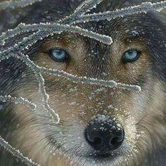 Watchful Wolf