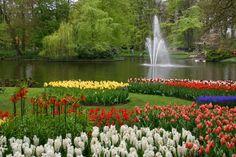 #Holanda es la patria de los tulipanes y el Parque #Keukenhof su lugar natural para verlo tal cual en sus colores, entre jardines hermosos y con la miríada de insectos que le hacen la corte. http://www.guias.travel/blog/encuentrate-con-los-tulipanes-en-su-propia-casa/