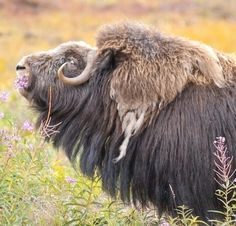 MUSK OX, IN THE AUTUMN COLOR.Photography by © (Takayoshi Noda). One of the wild animals we can see in the Alaska Arctic Circle is the musk ox. In autumn, preparations to survive the winter of minus 50 ° C will begin. Musk oxs wear thick hair and. Large Animals, Animals And Pets, Cute Animals, Wild Animals, Nature Animals, Musk Ox, Amur Leopard, Greyhound Art, Cow Art