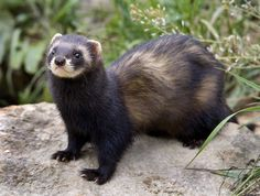 I want a ferret with a black nose : )