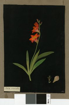 Mary Delany - xia Crocata (Triandria Monogynia), from an album (Vol.V, 84). 1778 Collage of coloured papers, with bodycolour and watercolour, and with leaf sample, on black ink background.