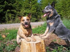 Australian Cattle Dog Red and Blue heeler  (Great working dogs, heeler's nip at the heels of cattle and ....)