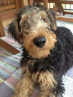 ❤️ how adorable is this Airedale Puppy❤️