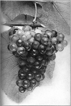 grape drawing - Google ძებნა