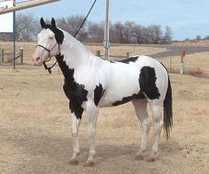 Tovero Paint Horse | sale sale search red army russia pony tovero dam i tovero overo