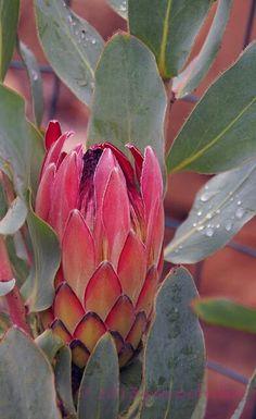 Protea Flower, Patio Tiles, Earth 2, Pink Mirror, Small Trees, Pincushions, Orange County, Garden Plants, Flower Art