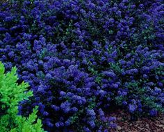Ceanothus ' Blue Sapphire' is a terrific plant, making long low gracefully arching stems covered in small very dark green, almost black, glossy leaves. Description from newplants.nl. I searched for this on bing.com/images