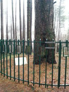 Reggio Calabria, Italia, albero di Garibaldi