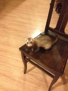 LOST in Newfield NY: June 25, 2014 ......I've messaged the owner on what steps to take, if anyone lives near him and can offer to help..... Peter Bentkowski Ella, one of my ferrets escaped last night. I am absolutely heartsick. I live in the Town of Newfield, on Short Ln., just off Millard Hill Rd.. Please let me know if anyone you know has found, or seen a ferret in the area. Thanks. https://www.facebook.com/photo.php?fbid=10203728199113026set=gm.143301179177007type=1theater