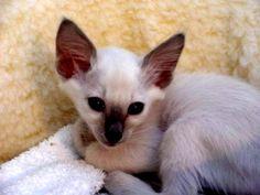 javaennse cats | Cute Javanese Kittens Photos