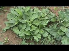 Join Stephanie Wiseley, herbalist, to learn how to identify Mullein, Plantain, Poke, Clover, Purslane, Field Garlic, and Wild Chicory and learn some of what they are good for.