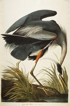 John James Audubon: Great Blue Heron plate CCXI from 'The Birds of America'